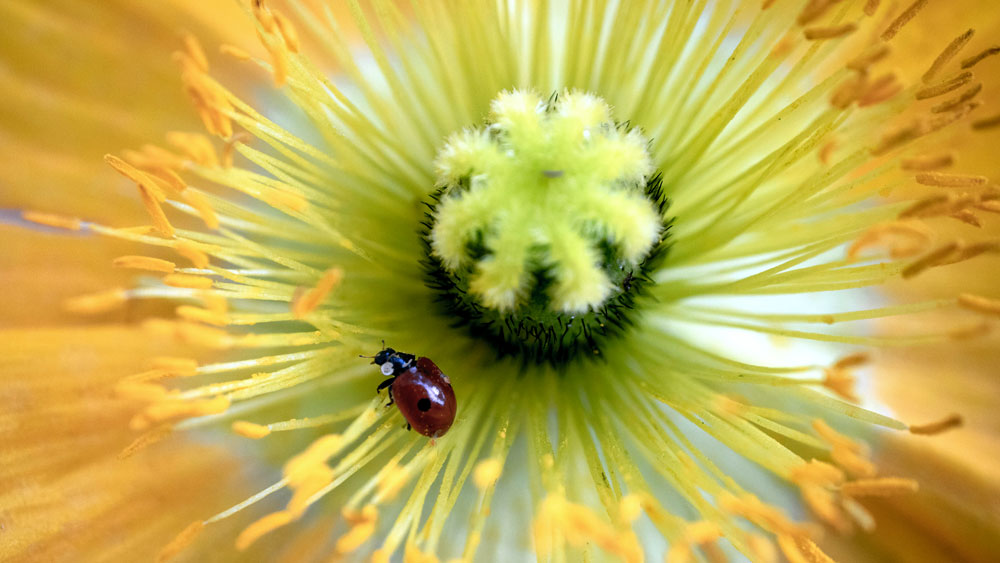 A red ladybug in the center of a large yellow flower. Beneficial insects protect the health of a xeriscape by providing natural pest control.